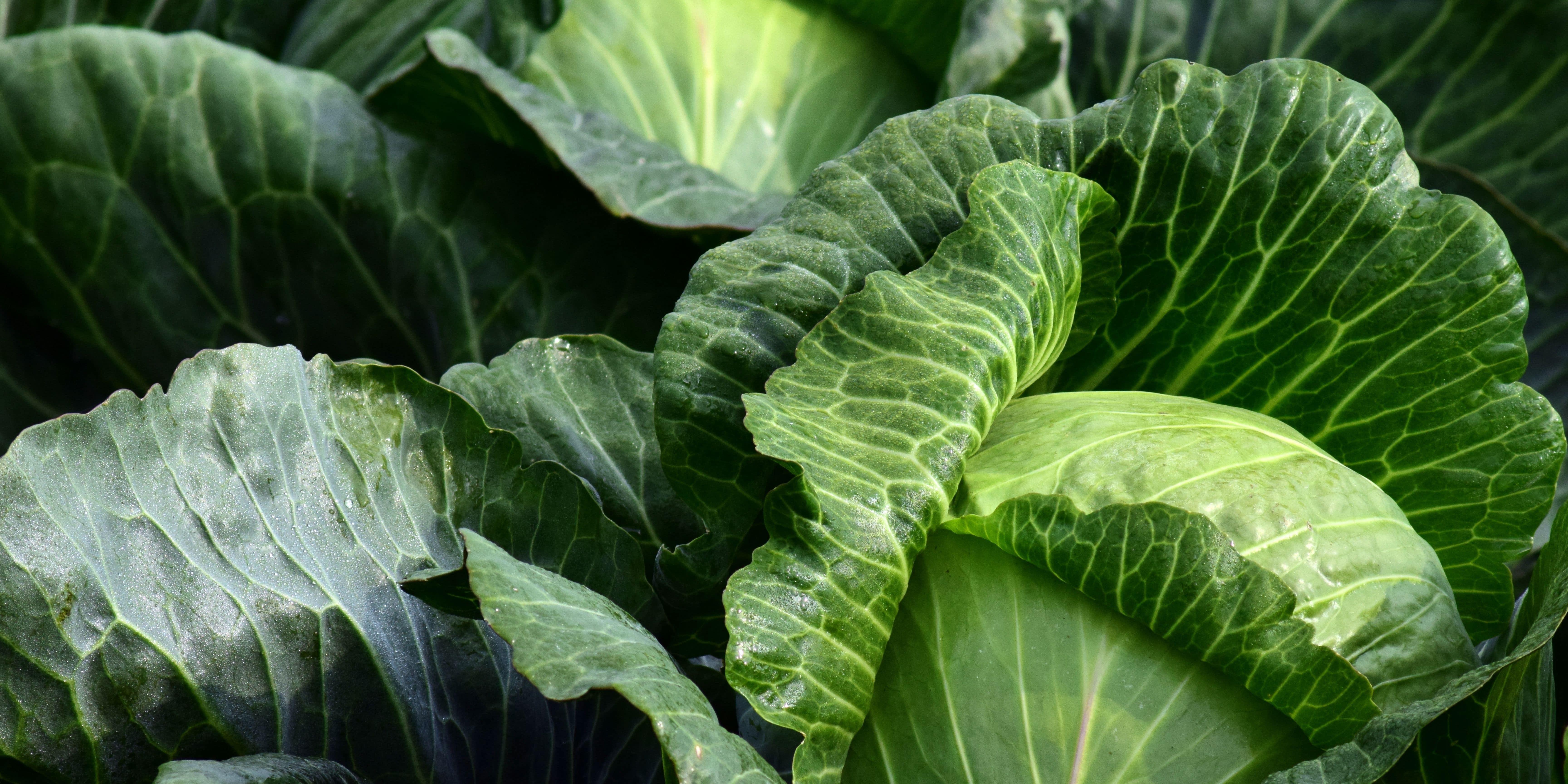 Fresh cabbages in storage