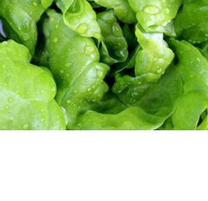 Wholesale Fresh Produce | Specialty Lettuce